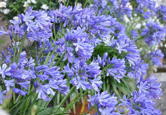 Himmelsblå blommor och riklig knoppsättning får Afrikas blå lilja om den övervintras rätt.
