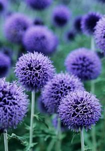 Blå blomkorgar av bolltisteln med en lavendelblå, djup färg.