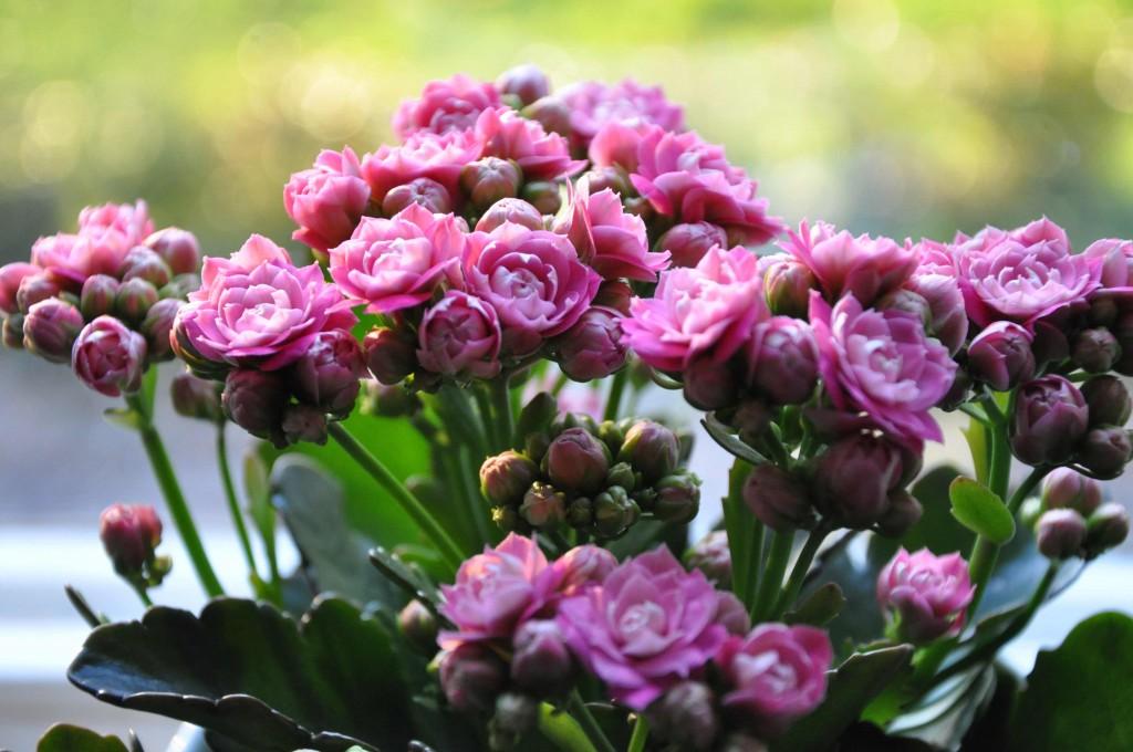 Tätt rosenblommig höstglöd, Kalanchoe, värmer frusna novembersjälar som Greenspire.