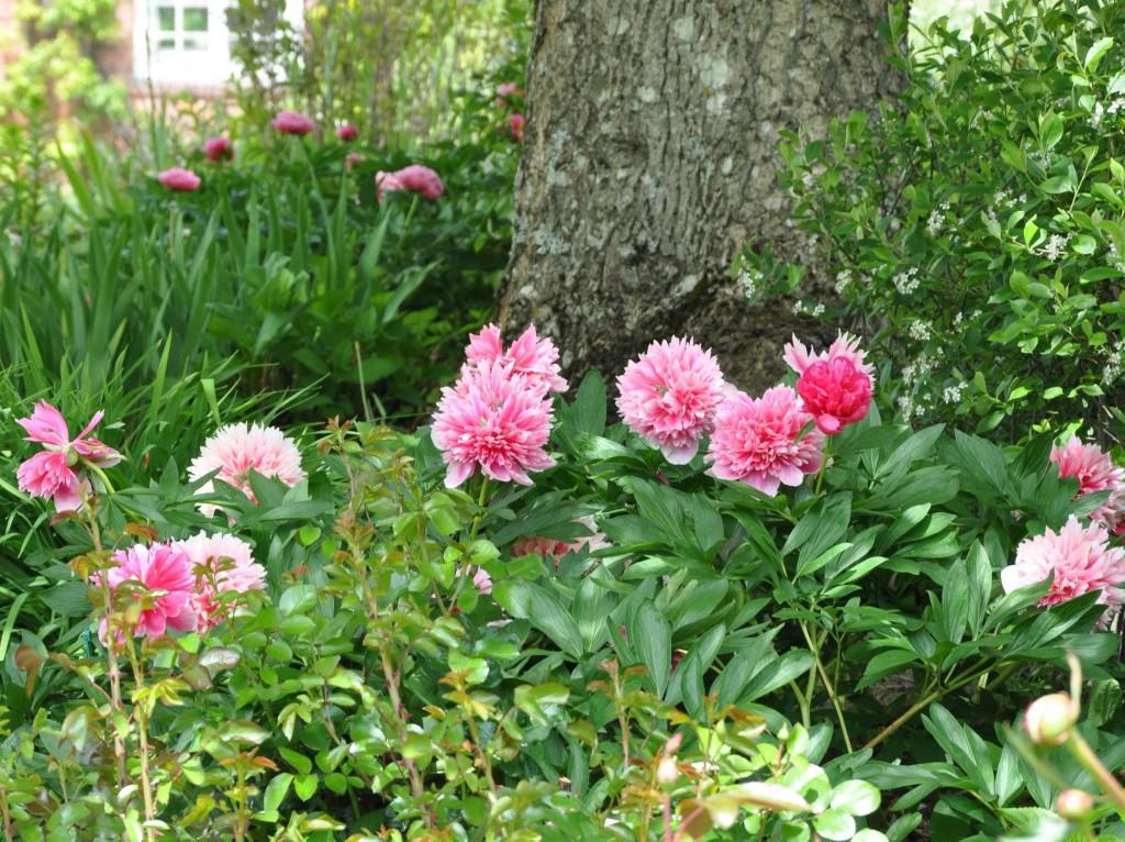 Pionerna blommar i månadsskiftet juni-juli och gläder mången trädgårdsmästare.