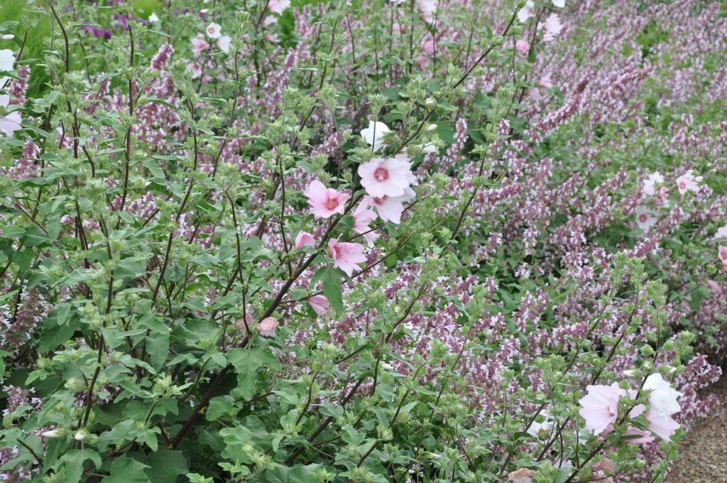 Blekrosa och svagt lila stämmer väl ihop. Här en uppstickande malva.