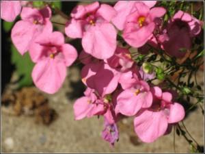 Tvillingsporren är en rikblommande annuell med vita till rosa blommor som bör placeras soligt.