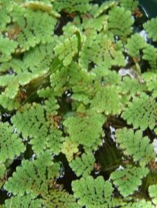 Vattenormbunken Azolla carolina kan vid goda förhållanden fördubbla sin grönmassa på två dagar.
