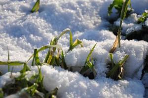 Ljusgröna uppåtsträvande sädesstrån trotsar det tunna snötäcket.