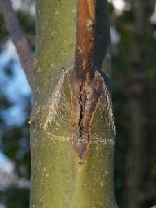 En gren som angripits av askskottsjukan har torkat in ända till stammen.