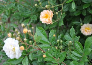 Massor av knoppar på den gula rosen efter bladlusangreppen.