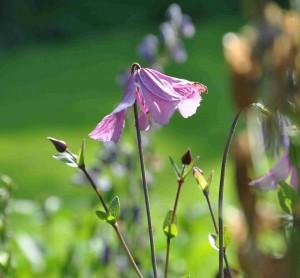 Rosa klematis med stramt uppåtriktat växtsätt passar bra i en rufsig perennrabatt.