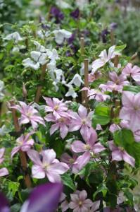 Sentblommande clematis 'Caroline' med ljust rosa blommor är en ganska ny sort.