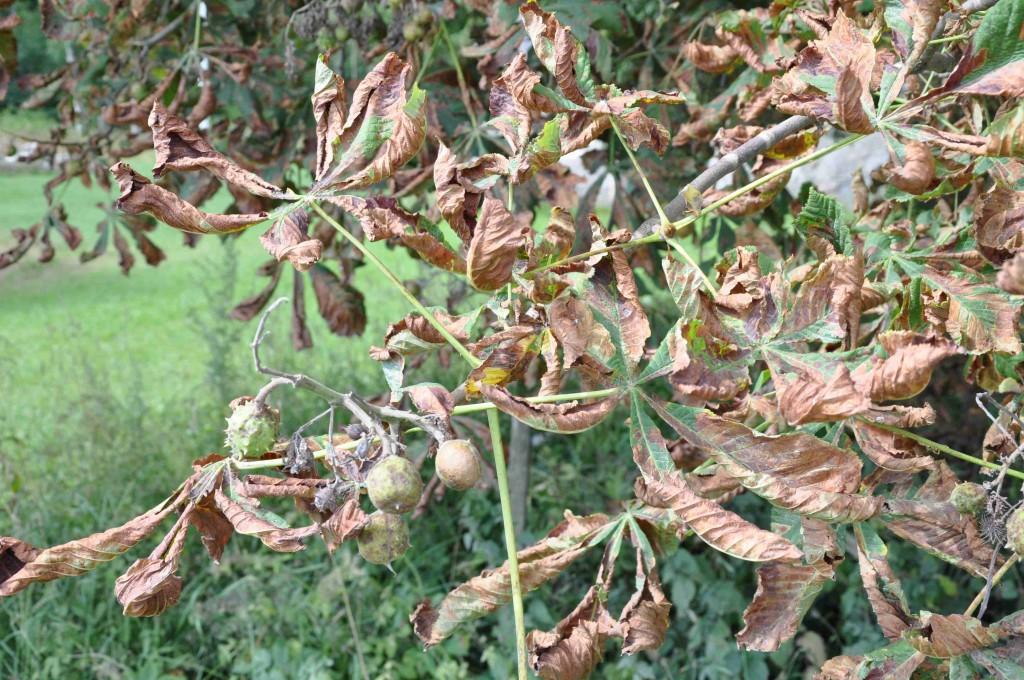 Dessa träd har varit angripna av både minerarmal och bladbränna.