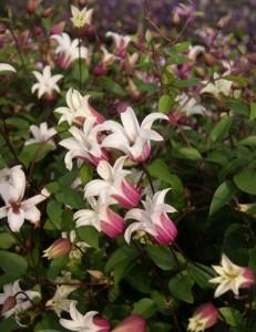 Liljeformade blommor med rosaröd utsida och vit insida är en härtig nyhet.
