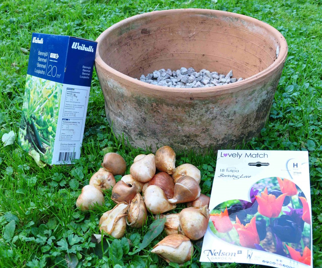 Här ska det planteras tulpanlökar i en vid lerkruka.