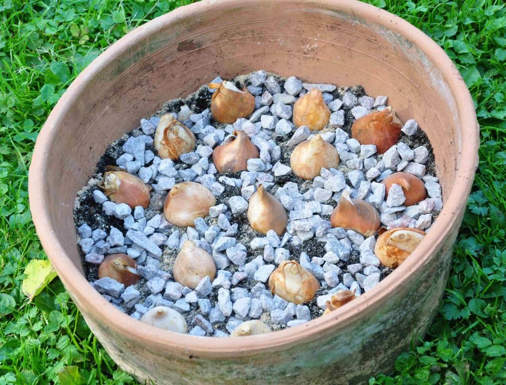 Singel och grovt grus underlättar dräneringen kring tulpanlöken.