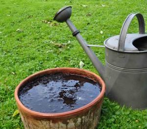 Lökarna vattnas efter plantering för att snabbt rota sig.
