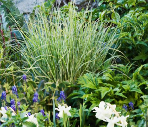 Vitbrokiga gräs ger både struktur och lyster åt rabatten.