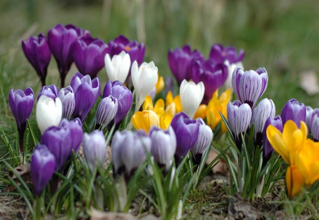 Krokusar hör till de allra tidigast blommande lökväxterna och de lyser ikapp med vårsolen.