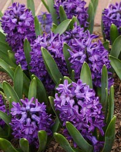 Hyacinten ger rabatten tyngd och doft.