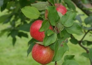 Aroma behåller färgen på fruktköttet utan att bli brunt när man skär i det.