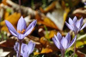 Lilastrimmiga kronblad och en orange pistill lyser upp bland höstlöven.
