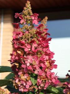 Syrenhortensian Wims Red växlar färg genom blomningsperioden från vitt till vinrött.