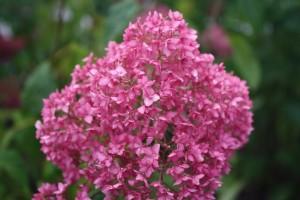 Vidjehortensian Bella Anna blommar hela sommaren precis som familjenamnet Endless Summer antyder.