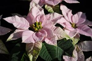 Olika rosa färger och även rent vitt kan Princettian förekomma i.