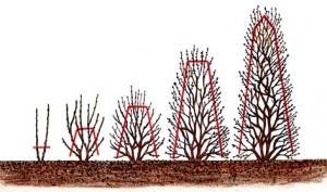 En häck som växer med flera grenar från basen måste byggas upp successivt.