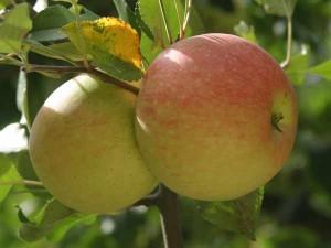 Mognande äpplen av höstsorten James Grieve.