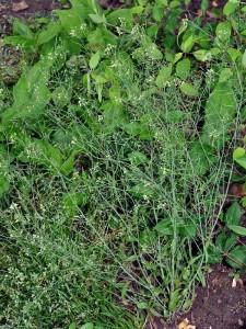 Backtraven är en tacksam växt i gentekniksammanhang då den har en begränsad genuppsättning.