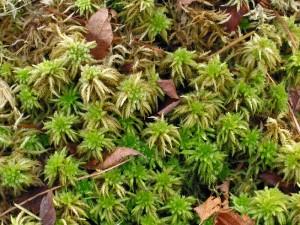 Vitmossan är mycket vattenhållande och näringsfattig till sin natur.