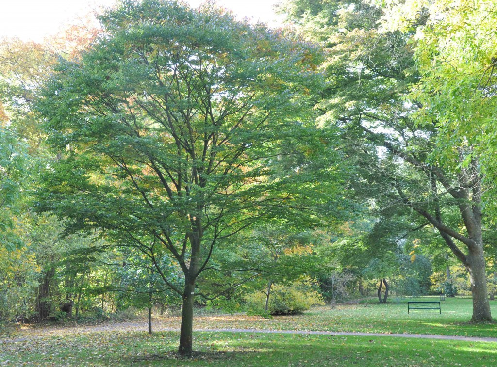 Japanska trädet zelkova blir nästan lika bred som hög.