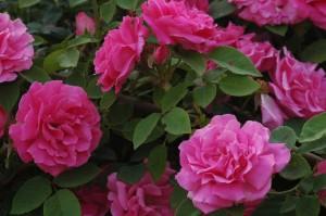Starkt ceriserosa blommor har bourbonrosen Zéphirine Drouhin.