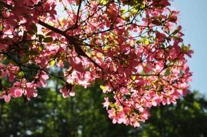 Azalean blommar i samband med lövsprickningen.