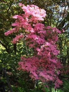 En rosablommande azalea som står på skyddad växtplats med god tillgång på vatten.