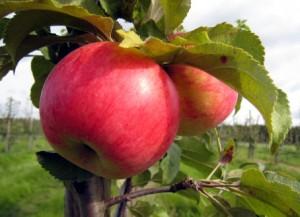 Strimmiga äpplen på äppleträdet Fredrik.