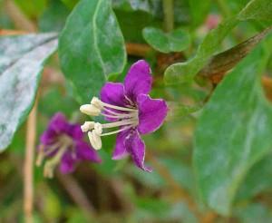 Blomman hos gojibäret är lila och liknar en potatisblomma.