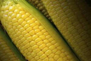 Helt fullmatade kolvar av egenodlad majs kan vara lite svårt att få till.