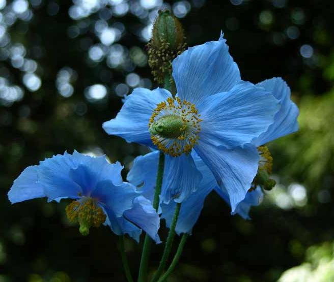 Den stora blomman hos bergvallmo sitter på en hög, hårig stängel.