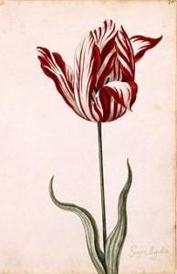 Den strimmiga tulpanen Semper Augustus orsakade köphysteri på 1630-talet.