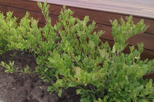 Gulaktiga blad uppkommer lätt på surjordsväxter som står i jord med för högt pH.