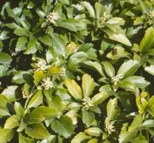 Skuggröna föredrar en lätt sur jord och skuggig växtplats. Den blir lätt gulfärgad i för högt pH.