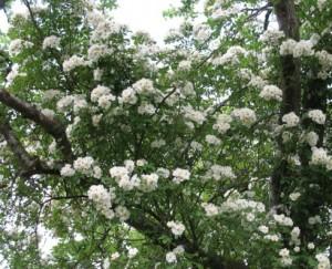 Starkväxande honungsrosor går högt upp i träden.
