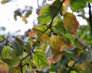 Papegojbusken är en bred buske med vacker höstfärg.