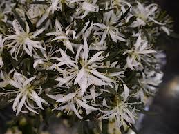 Den spindelblommande azalean Hekla har en mycket dekorativ blomning.