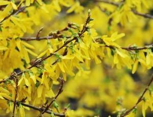 Forsythian tillhör de tidigast blommande buskarna i trädgården.