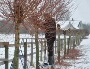 Pilar hamlas med regelbundna intervaller för att stammen ska orka bära upp den stora grenmassan.