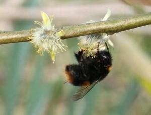 Humlorna vaknar med vårens första solstrålar och letar mat bland sälgens blommor.