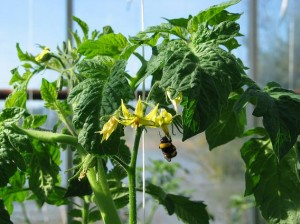 Humlorna utför hela pollineringsarbetet hos de flesta tomatodlare idag.