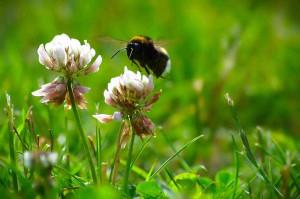 En humla på jakt efter nektar i klöverblommorna.