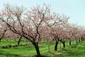 Kring Medelhavet produceras mycket persikor.