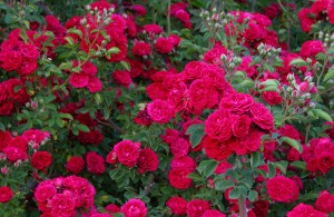 Chevy Chase är en karminröd klätterros som blommar rikligt.